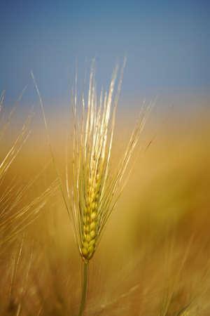 a barley halm