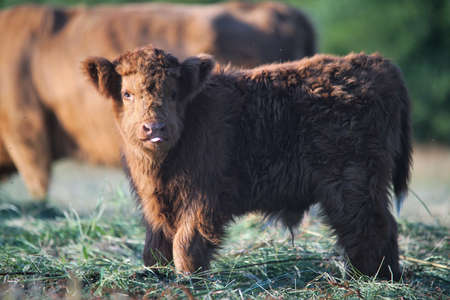 a calf of the Scottish highlanders