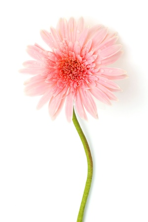 Pink gerbera flower on stem. Isolated on white Stock Photo - 10142643