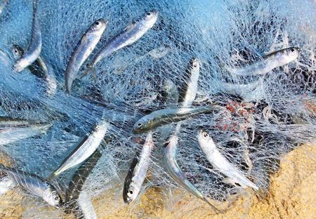 redes de pesca: Peces en un pesquero redes