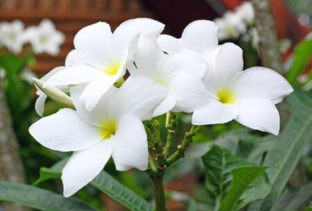 plumeria pudica flowers Stock Photo - 10400967