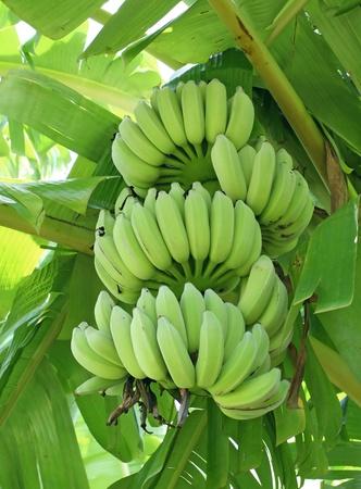 banana tree: Green bananas on a tree  Stock Photo