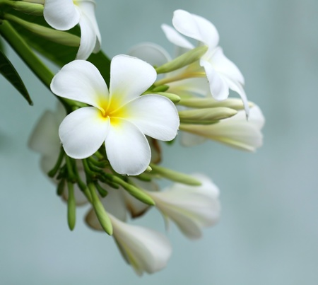 Frangipani flower  Stock Photo - 11773151