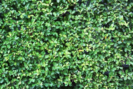 Green leaves wall background  photo
