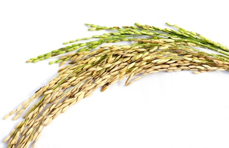 Close up of paddy rice on white background Banco de Imagens