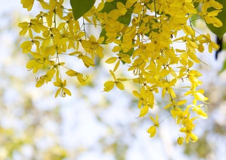 golden shower: National tree of Thailand Golden Shower Tree Art Print  Stock Photo