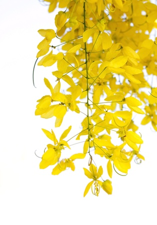 National tree of Thailand Golden Shower Tree photo