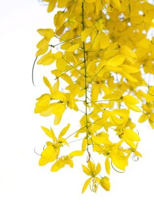 golden shower: National tree of Thailand Golden Shower Tree