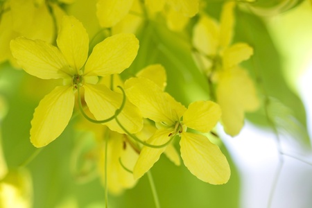 golden shower: National tree of Thailand Golden Shower Tree  Stock Photo
