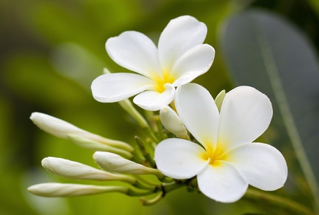 Branch of tropical flowers frangipani  plumeria