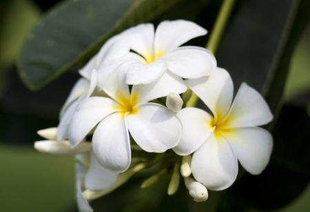tropical flowers frangipani  plumeria Stock Photo - 12979940