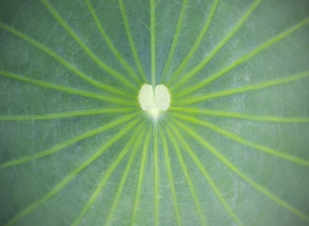 close up on lotus leaf  photo