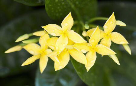 Yellow Ixora Flowers