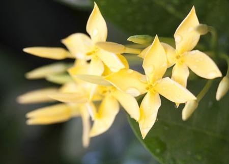 stamin: Yellow Ixora Flowers