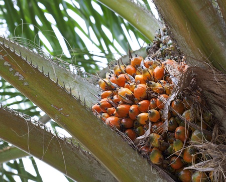 Palm oil, a well-balanced healthy edible oil is now an important energy source for mankind  It comes from the fruit itself  reddish orange    photo