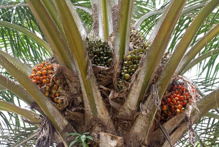 Palm oil, a well-balanced healthy edible oil is now an important energy source for mankind  It comes from the fruit itself  reddish orange
