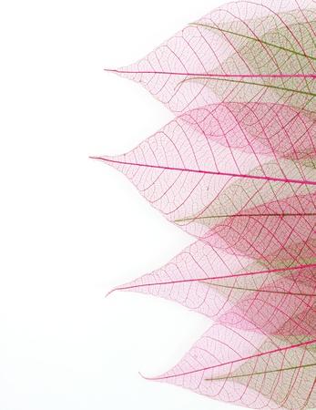 Skeleton leaf background  photo