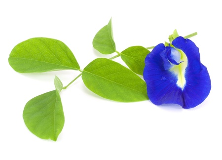 pea shrub: Clitoria ternatea