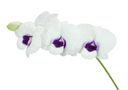 carpel: white orchid isolated on white background