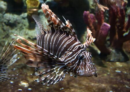 Lion-fish  photo