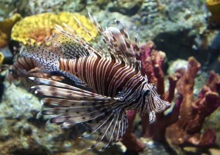 Lion fish photo