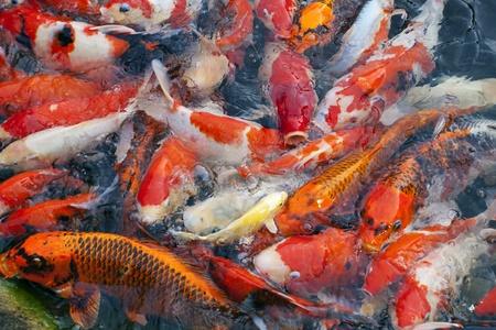 Japanese koi fish photo