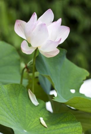 lotiform: Pink lotus