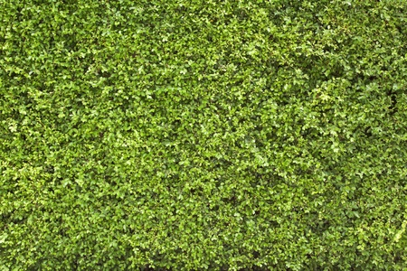 green leaves wall as background or wallpaper Stock Photo - 14917982