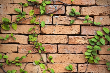 green creeper plant on a brick wall for background photo