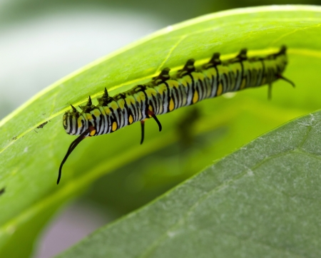 Monarch Butterfly Caterpillar On Milkweed  Stock Photo - 15603340