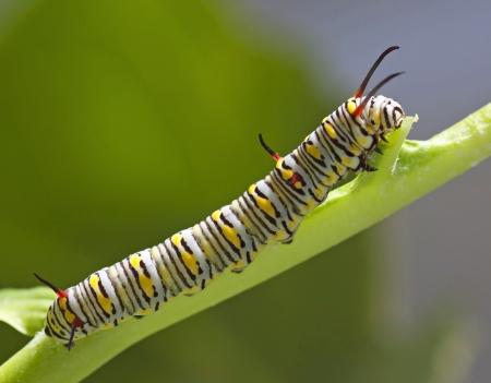 トウワタのモナーク蝶の幼虫