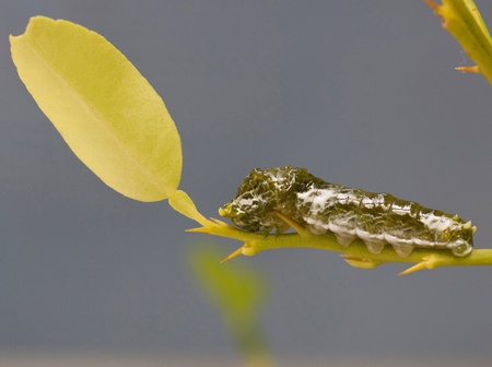 papilionidae: pupa is hanging on branch   Stock Photo