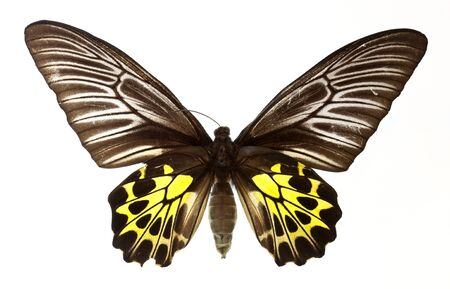 specimen: golden bird wing butterfly isolated on white Stock Photo