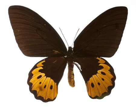 goliath: Goliath Birdwing butterfly on white