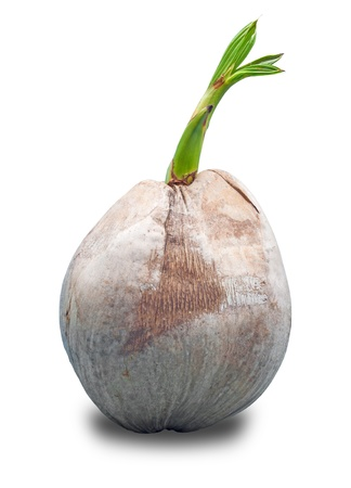 coconut seedlings: Sprout of coconut tree isolate