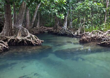 Mangrove forests   swamp   with river photo