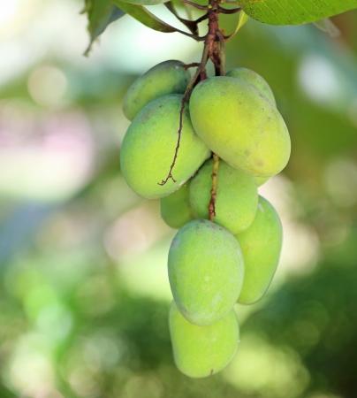 Fresh green mangoes Stock Photo