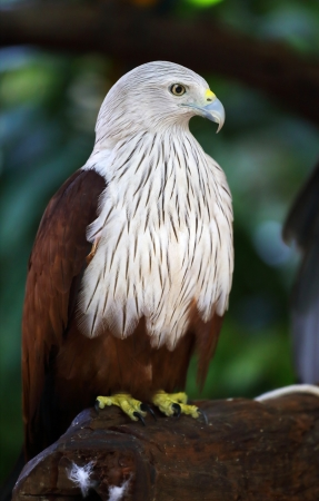 lanner: Falcon in the wild