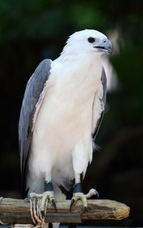 aerial animal: Falcon