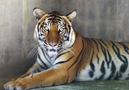 portrait of tiger photo