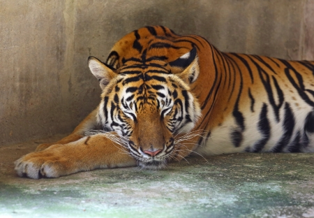 Sleeping Tiger  photo