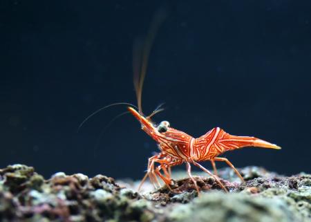 Hingebeak Shrimp Stock Photo