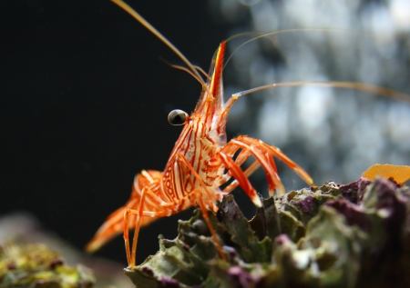 Hingebeak Shrimp photo
