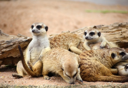 Family of Meerkats photo