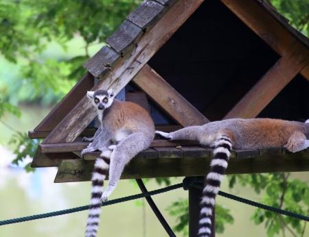 procyon: Raccoon in park