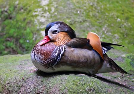 mandarina: Mandarin duck
