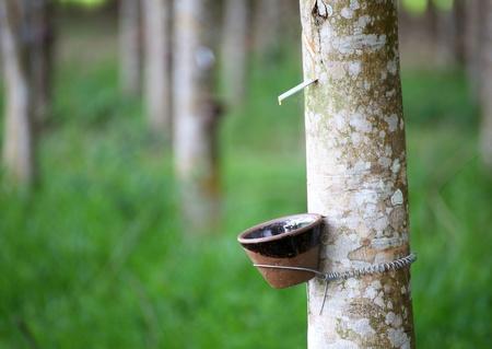 Toccando lattice da un albero della gomma Archivio Fotografico - 20598127