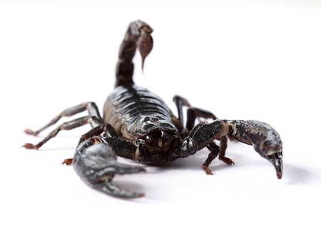 black scorpion on white background  photo