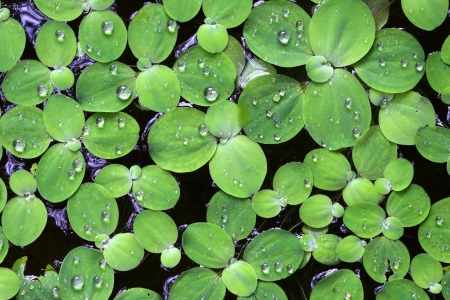 dampness: Water drops on large duckweed Stock Photo