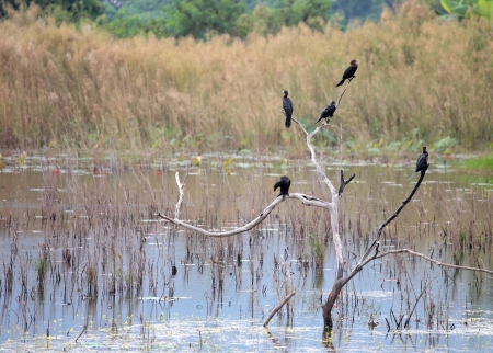 Cormorants on tree photo